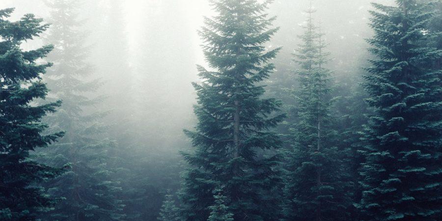 Kuusia metsässä